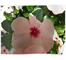 Rosy Periwinkle Close-Up, New York Botanical Garden, Bronx, New York Poster