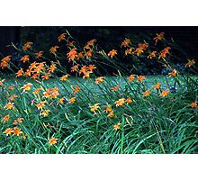 Tiger Lilies Photographic Print