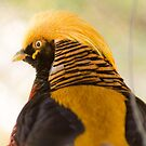 31115 Chinese Golden Pheasant by pcfyi