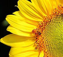 Honeybee Visiting Sunflower by Catherine Sherman