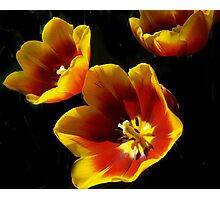BOLD AND BEAUTY TULIPS Photographic Print