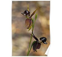 Flying Duck Orchid Duo - Morwell NP Poster