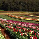Tulips, Dandenong Ranges, Victoria by Bev Pascoe