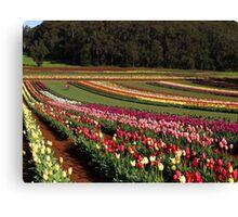 Tulips, Dandenong Ranges, Victoria Canvas Print