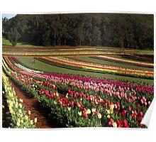 Tulips, Dandenong Ranges, Victoria Poster