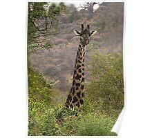 Maasai Giraffe - Manyara Mahogany Forest, Tanzania Poster