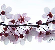 Spring Blossom by Olga Zvereva