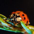 My world macro - Ladybug by Wizi-Top