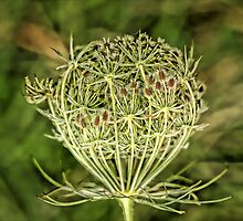 Cow Parsley by Tawny