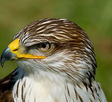 Red Tail Hawk by Fraser Ross