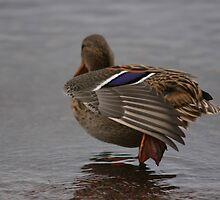 Resting duck by Arve Bettum