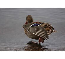 Resting duck Photographic Print
