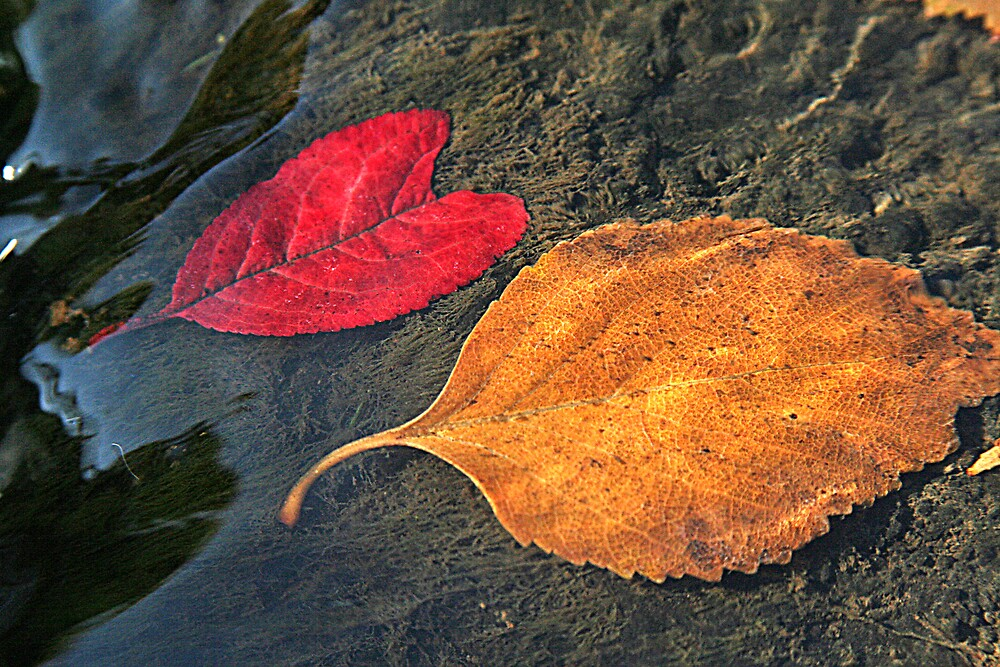 Submerged Fall Leaves by Randy Richards