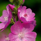 Mallow by Stephen Beattie