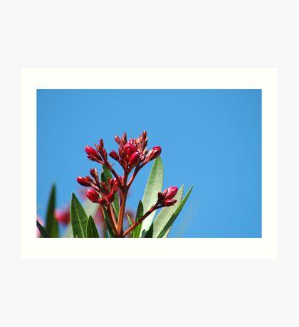Oleander Buds Art Print