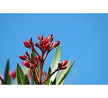 Oleander Buds Photographic Print