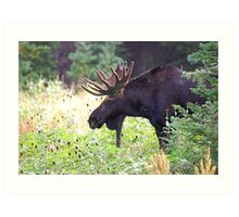 Bull Moose in Velvet Art Print