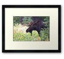 Bull Moose in Velvet Framed Print