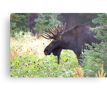 Bull Moose in Velvet Metal Print