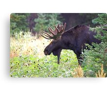 Bull Moose in Velvet Canvas Print