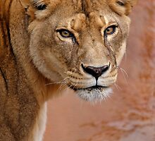 Lioness by Sharon Morris