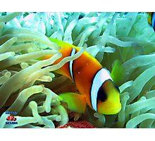 Anenome Fish Gordon Reef Sharm El Sheikh Photographic Print