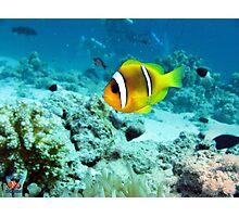 Clownfish Sharm Photographic Print