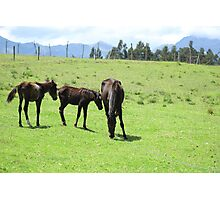 Mare and Colts on a Hill Photographic Print