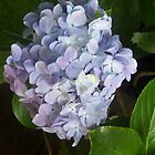 Blue Hydrangea, Flower by emmasm02