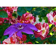 Clematis and Roses Photographic Print