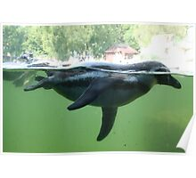 Swimming Alongside a Penguin Poster