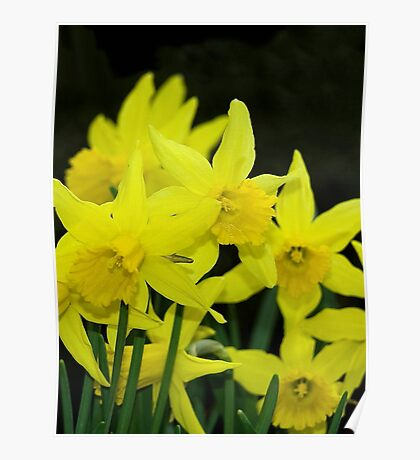 Simply Daffs Poster