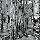 Stand of Aspen, Jack's Creek, Pecos Wilderness by Mitchell Tillison