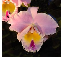 Pink Orchid -  Blue Ribbon Photographic Print