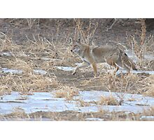 Quixotic Coyote Photographic Print