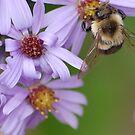 A honeybee on purple flower by loiteke