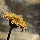 a gerbera in the sky by Angel Warda