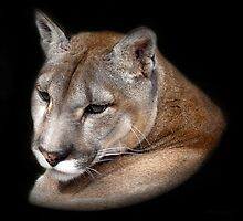 COUGAR  (Puma Concolor)  /  Mountain Lion by ©FoxfireGallery / FloorOne Photography