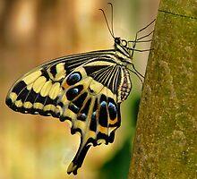 Swallowtail Beauty by Jen Millard