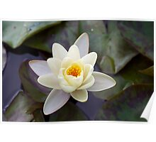 Water Lily II Poster