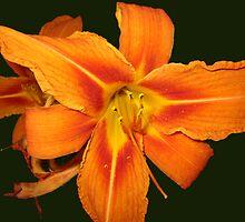 Orange Day Lily by L J Fraser