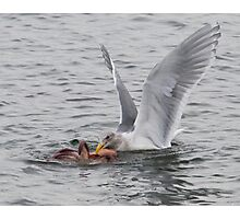 """What's for dinner, Mrs. Gull?"" Photographic Print"
