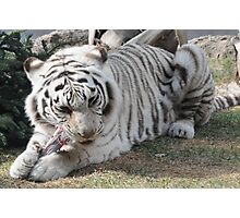 white tiger eating Photographic Print