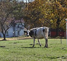 There's a cow in my yard by vigor