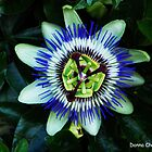 Passion Flower by Donna Chapman