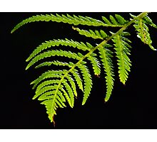Backlit Fern Photographic Print