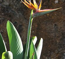 Bird of Paradise by Karen Doidge