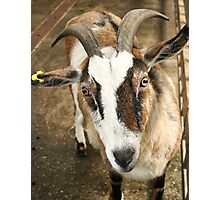 Goat 1 Photographic Print