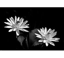 Two Water Lilies, In Black and White Photographic Print
