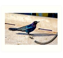 Common Grackle In St. Simons Art Print